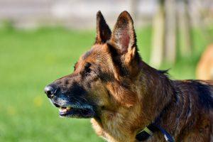 A great guard dog