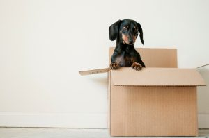 Packing fragile items- a little black dog in a packing box