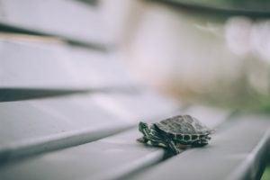 A turtle walking